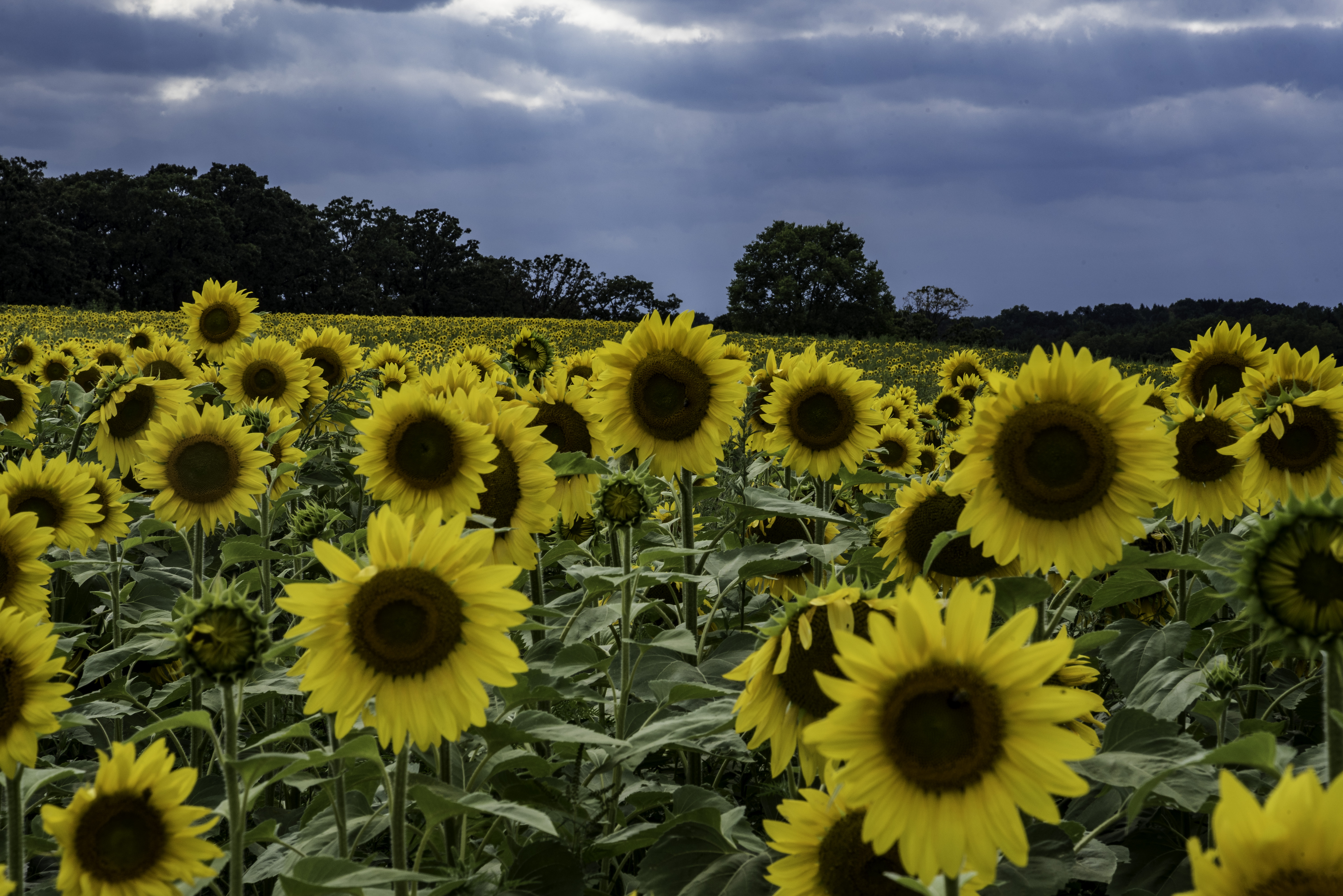 Large Sunflowers blooming at the Pope Conservancy Farm ...