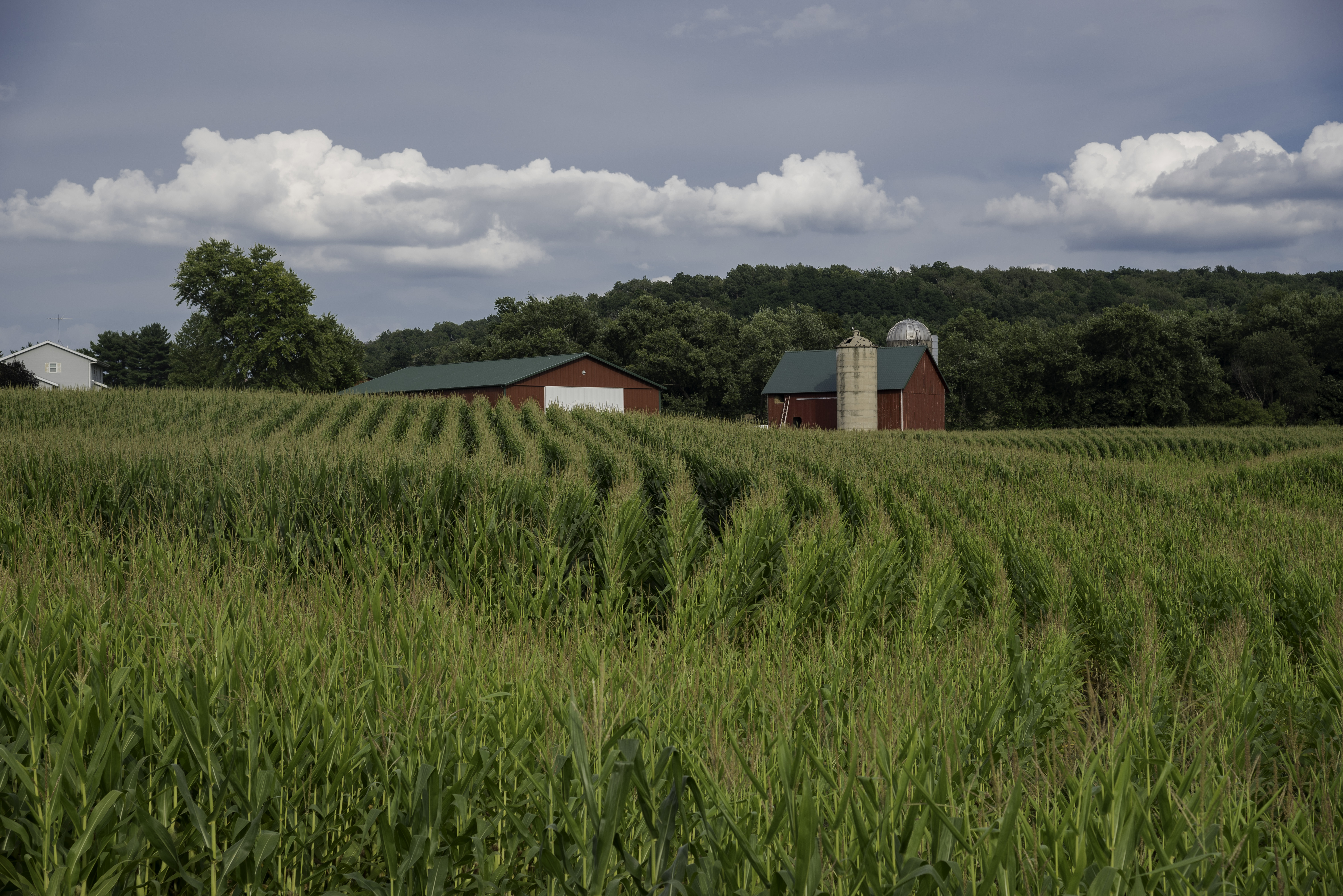 Rows of corn crops with barn image - Free stock photo ...