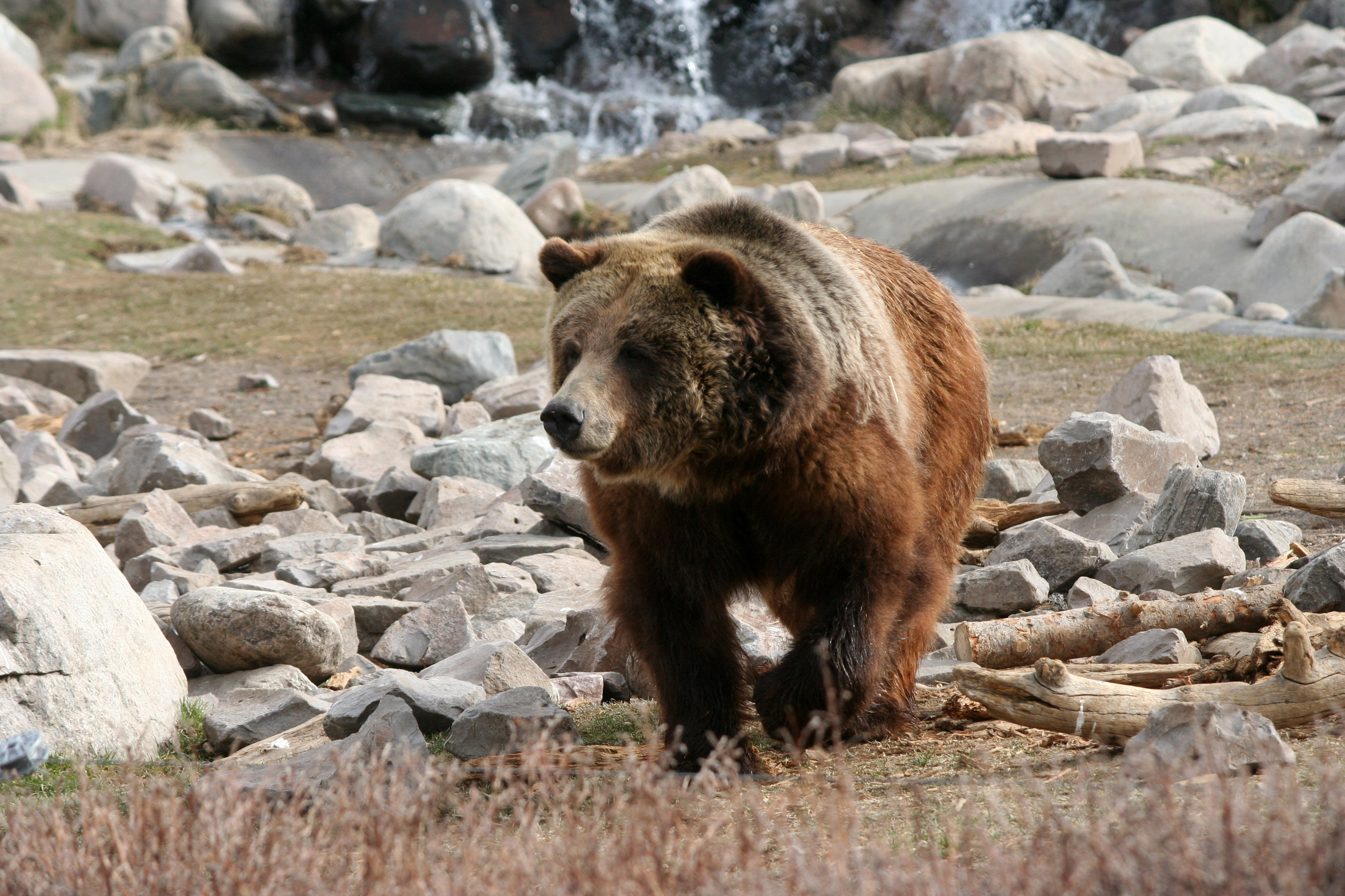 Brown Bear in Yellowstone National Park, Wyoming image - Free stock