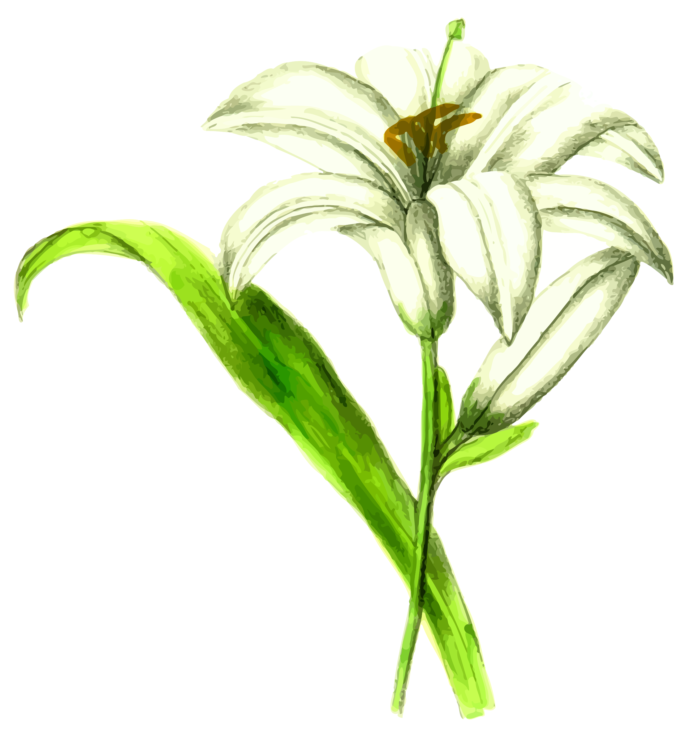 White Lily Vector Graphic Image Free Stock Photo