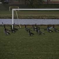 Canadian Geese by a Goalpost