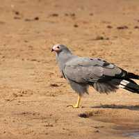 African Harrier Hawk on the ground