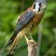 American Kestrel-Falco sparverius Standing on tree stump