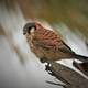 American Kestrel Perched on Tree Bark
