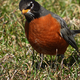 American Robin on grass