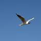 Arctic Tern flying in the air