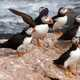 Atlantic Puffins standing on rock