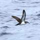 Audubon's Shearwater - Puffinus lherminieri - flying over the ocean
