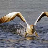 Australian Gannet taking flight from water