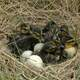 Baby ducklings in a nest