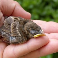Baby Sparrow being held in hand