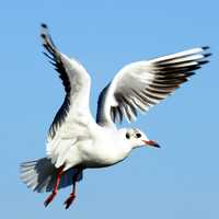 Baltic Seagull in Flight