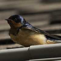 Barn Swallow on the roof