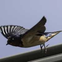 Barn Swallow taking off - Hirundo rustica