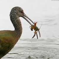 Bird with crayfish in mouth