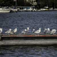 Birds on a lake dock, seagulls