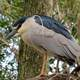 Black Crowned Night Heron Close-up