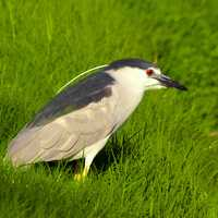 Black Crowned Night Heron in the grass