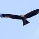 Black Kite Soaring in the sky - Milvus migrans