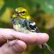 Black-throated Green Warbler being held