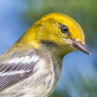 Black Throated Green Warbler portrait