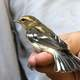 Blackburnian Warbler on hand