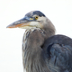 Blue Heron close-up