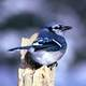 Blue Jay Sitting on a tree branch - Cyanocitta cristata