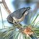 Blue Pygmy Nuthatch(Sitta pygmaea) sitting on a pine branch
