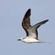 Bridled Tern - Onychoprion anaethetus in flight