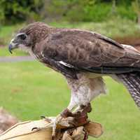 Brown Falcon on hand