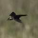 Brown Headed Cowbird in flight