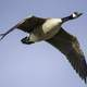 Canadian Goose closeup in flight