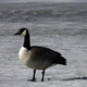 Canadian Goose standing on Ice