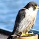 Canal barge peregrine on Perch