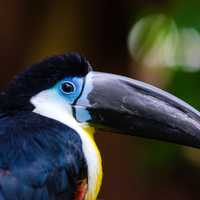 Channel Billed Toucan - Ramphastos vitellinus