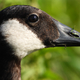 Close up face of a Canadian Goose