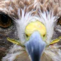 Close up of falcon face