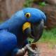 Close Up of Hyacinth Macaw -- Anodorhynchus hyacinthinus