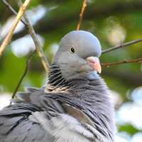 Closeup of a dove Pigeon turning head