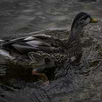 Close Up Of a Duck in Water