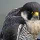 Close up  of a peregrine falcon