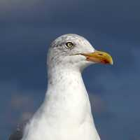 Close-up of seagull head