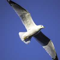Close-up seagull in flight full wingspan