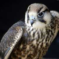 Close up shot of a Falcon