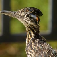Closeup of roadrunner bird