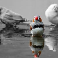 Colored Zebra Finch in a black and white photo