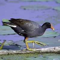 Common Gallinule -- Gallinula galeata  on a fallen tree