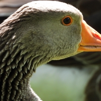 Common Goose closeup headshot