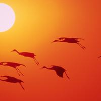 Cranes flying over the setting sun